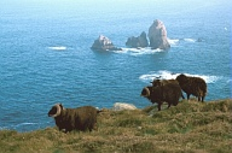 Sheep in Ouessant Island (France)